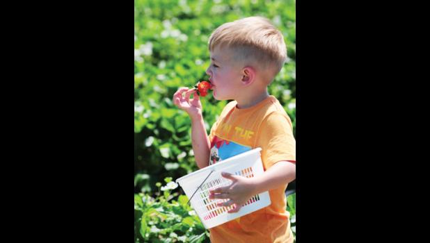 Zander Meadows samples a strawberry during a visit to the Sandy Flat's Berry Patch U-pick field  last week.