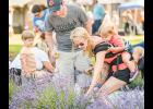 Visitors cut their own bundles during Upick 2016 at Southern Hills Lavender in Greer.